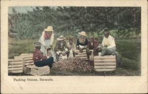 Bermuda - Native Black People Packing Onions c1910 Postcard
