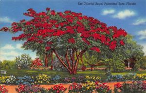 Florida The Colorful Royal Poinciana Tree Postcard