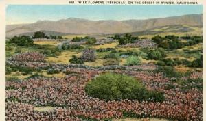 CA - Wild Flowers on the Desert in Winter