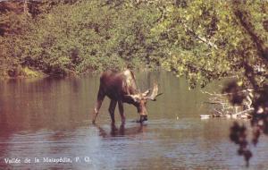 Moose Drinking From Water, Vallee de la Matapedia, Quebec, Canada, PU-1985