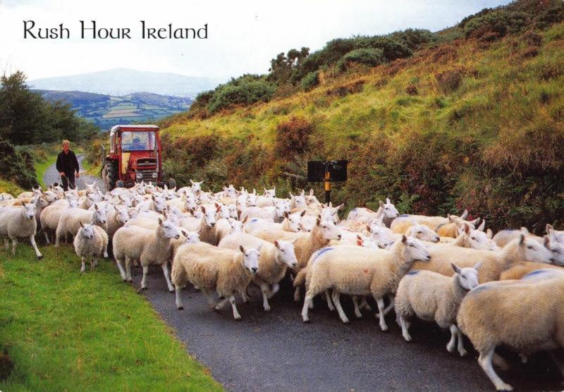 Postcard RUSH HOUR IRELAND Sheep In Road