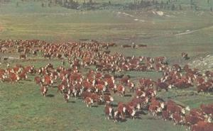 A herd of Whiteface Cattle on the Range, unused Postcard