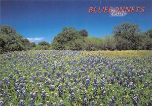 Texas - Bluebonnets