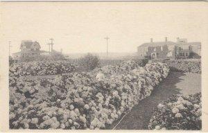 NANTUCKET , Massachusetts , 1911; Hydrangeas