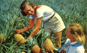 Picking Luscious Pineapple - King of Fruit - HI, Hawaii