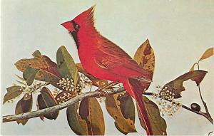 The Cardinal, Kentucky State Bird Postcard KY