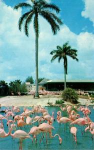 Birds Flamingo and Swans In Florida 1974