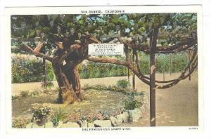 The Famous Old Grape Vine, Oldest and Largest, San Gabriel, California, 30-40s