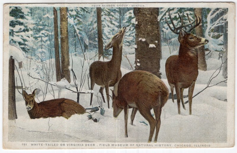 White Tailed Or Virginia Deer, Field Museum of Natural History, Chicago