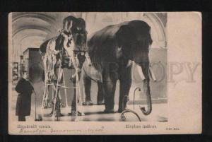 056656 Indian ELEPHANT Elephas indicus skeleton Old RED CROSS