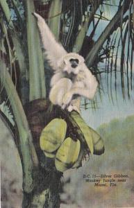 Florida Miami Silver Gibbon At Monkey Jungle Curteich