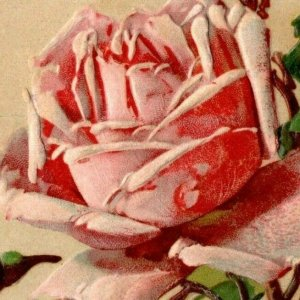 Embossed Pink Rose Signed Artist Birthday Postcard