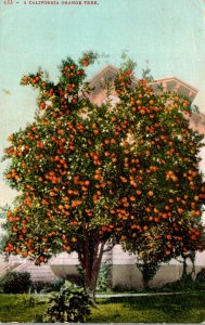 California Typical Orange Tree Loaded With Fruit 1908