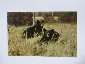 Pair of Black Bears 1950 Vintage Chrome Postcard