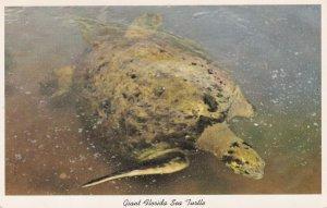 Giant Florida Sea Turtle Real Photo Postcard