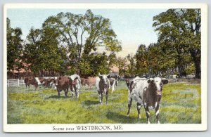 Cows Stare Out of Postcard in Westbrook Maine~Spotted Cattle in Meadow~1920s
