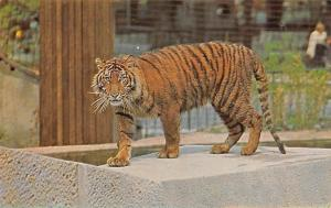 Tiger, London Zoo, Regent's Park, Wild Animals, Fauna, M. Lyster, Postcard