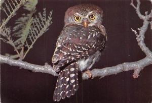 Pearl Spotted Owl - South Africa