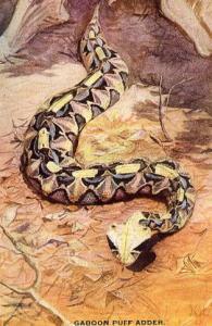 Gaboon Puff Adder  (Snake)