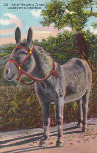 Donkey Rocky Mountain Canary Looking For A Tenderfoot