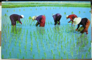 Thailand Cultivation of Rice Transplantation of Tender Plants - unposted