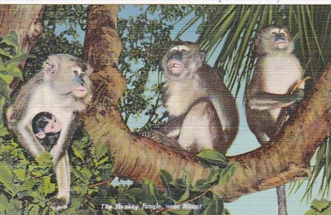Florida MIami Monkeys At The Monkey Jungle Curteich