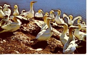 CANADA    PC404    ADULT GANNETS