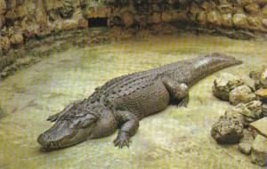 600 Pound Florida Alligator Sarasota Jungle Gardens Sarasota Florida 1966