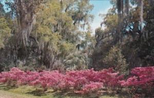 Louisiana Avery Island Jungle Gardens Azaleas and Oak Trees