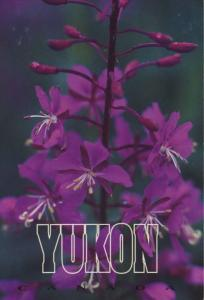 Yukon YT Fireweed Yukon's Floral Emblem Flower Purple Unused Postcard D31