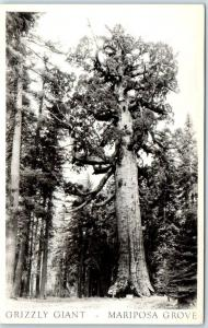 Yosemite National Park RPPC Real Photo Postcard GRIZZLY GIANT - MARIPOSA GROVE