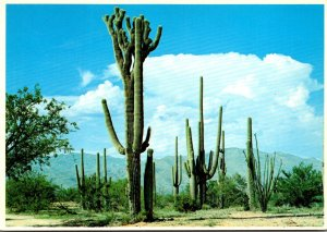 Arizona Mammoth Saguaro Cactus
