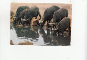 BF28096 wild life africa kenya buffalo s drinking at pool   front/back image
