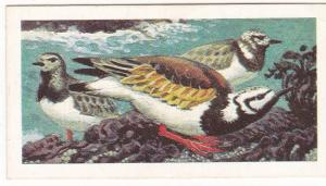 Trade Card Brooke Bond Tea Wild Birds in Britain 28 Turnstone