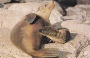 GALAPAGOS - Ecuador , 50-70s ; Sea Lion