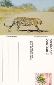 Leopard, Namibia, South West Africa, 40-60s