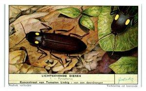 Fire Beetle Pyrophorus, Luminous Animals Liebig Belgian Trade Card *VT28A