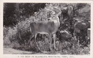 RP: Red Deer , Algoquin Provincial Park , Ontario , Canada , PU-1943