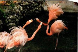 Postcard Pink Flamingos Bird Park Homosassa Springs Nature World Florida 1890