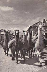 Peru Huancayo Street Scene With Group Of Llamas 1961 Real Photo