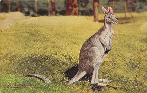 Misc Animals Breast Gray Kangaoo New York Zoological Park, USA Unused