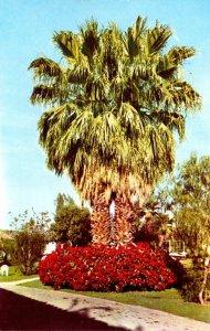 California Palm Springs Poinsettias At Ingleside Inn