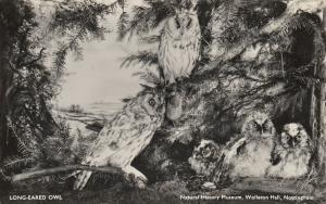 RP: NOTTINGHAM, England , 1920-40s; Long-Eared Owls, Natural History Museum, Wol