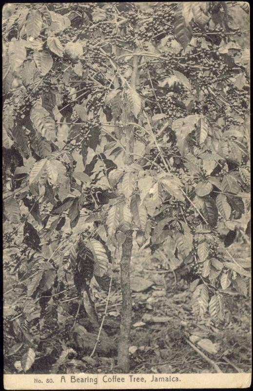 jamaica, Bearing Coffee Tree (1910s)