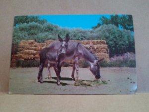 Burrows in the Southwest Curtechcolor CURTEICH postcard small donkey