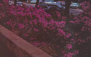 GREENVILLE, South Carolina; Azaleas in full bloom in Cleveland Park, 40-60s