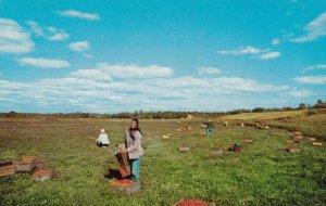 CAPE COD , Massachusette , 50-60s ; Cranberry Bog