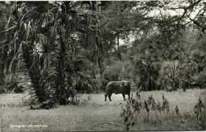 mozambique Gorongosa, Wildlife African Buffalo 50s RPPC