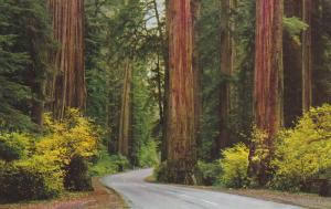 CALIFORNIA, 1940-1960's; Autum Colors, Giant Redwood Forest