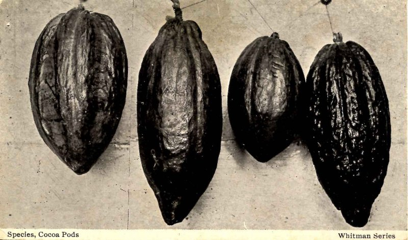 Species - Cocoa Pods